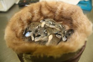 Wildlife Rescue Center in MO uses fur coats from Born Free USA fur drive to help orphaned baby animals Photo credit to Kim Rutledge