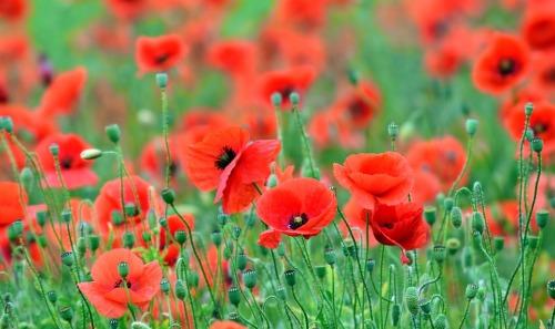 poppy-2410383_960_720